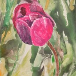 Pink Tulip 5 (pink tulip WC 2)